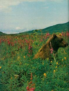 Bear among the flowers !