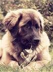 leonberger dog - worlds largest dog... love these