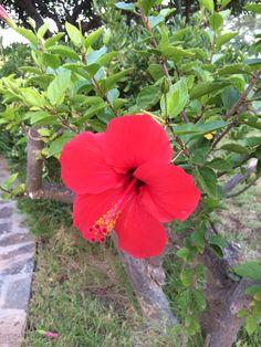 Hibiscus in Crete 2014