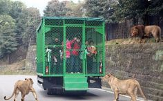 This Chinese Zoo Locks the Visitors in the Cage and Lets the Animals Run Free