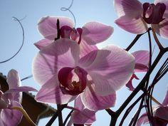 Visão La Flora: Aprenda método para que orquídea floresça mais de ...