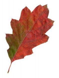 10. Quercus rubra - Eikenblad