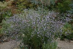 Aster turbinellus with Miscanthus