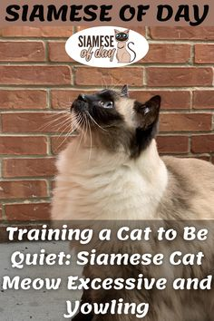 There are plenty of reasons your cat meow. Sometimes you can find it irritating and sometimes you may love. Cats usually meow to indicate their problem, to say hello, request attention and sometimes they ask for food by doing this. #siamese #siameseofday #cats #pets #kittens #Blog #cattips #cathealth #kitten #justcats Siamese Cats, Kittens, Cat Toilet Training, Training Kit, Kitten Care, Cat Health, Cat Food, Good Company, Cat Breeds