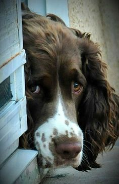In the dog house - English Springer Spaniel