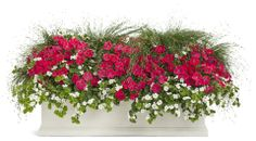 Container 'Heart's on Fire' featuring: Petunia 'Supertunia Watermelon Charm', Bacopa 'Snowstorm Giant Snowflake', and Graceful Grasses 'Fiber Optic Grass'