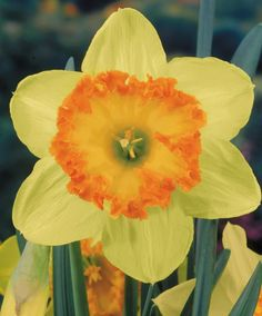 Narcissus Suada - Large Cupped Narcissi - Narcissi - Flower Bulbs Index