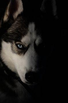 Husky - Neeko side light by Chels L, via Flickr/ looks almost like my Husky, Nanook