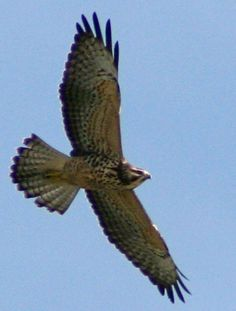 Difference Between Hawks and Falcons   Florida Keys Hawkwatch   Dedicated to promoting the appreciation and ...