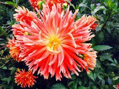 Lieschens-Bilder: Blume Dahlie Roger Geselle