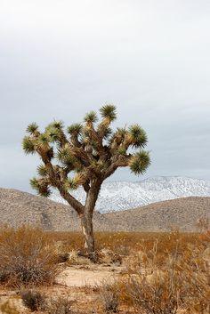 Joshua Tree, California Where I used to love :)