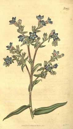 Anchusa officinalis illustration - circa 1817