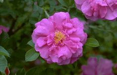 Canadian Rose Society Online > CRS Members > Resources > Rose Photos > Explorer Roses  Named after our country's explorers and founders these hardy roses survive anything! Beautiful!