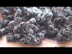 Breve filmato sulla Vespa Velutina in Italia, Calabrone asiatico che stà seriamente minacciando l'apicoltura europea. Per info e segnalazioni in Italia segui...