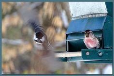 action shot...common redpoll/chickadee