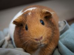 """A guinea pig with a lot on her mind — mostly lots of lettuce. """"The Mona Lucy"""" (by Richard Caldwell)"""