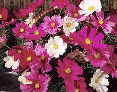 Cosmos - tall, lots of flowers. Good for back of bed.