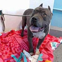 ●6•10•18 SL● •☆•Baldwin Park, CA•☆• ||URGENT!!!|| Pit Bull Terrier. Meet BULLET a Dog for Adoption.