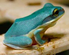 Thailand amphibians - Google Search