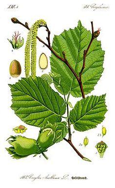 CITRINOS (Citrus spp.) Os Citrinos são árvores folhosas, de folha persistente. FAMÍLIA: Rutaceae GÉNERO: Citrus ORIGEM: Ásia PROPRIEDAD...