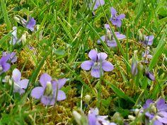 Common Dog Violet - Viola riviniana
