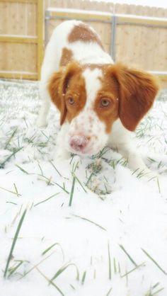 Snow lovin' Brittany Spaniel!