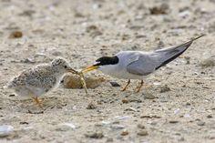 Feeding a Least Tern chick, Bolsa Chica wetlands, by Hal Beral