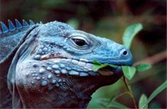 The Blue Iguana is one of the attractions of Cayman Islands Tourism