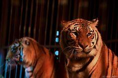 """""""Zeus"""" und """"Shakira"""", """"Junior"""" und """"Barbie"""" sind durch die Hölle gegangen - jetzt reisen sie ins Paradies. Die Löwen aus Zirkussen in Südamerika wurden zum Teil schwer misshandelt, in Südafrika sollen sie nun ihren Lebensabend genießen können. Die Tierschutzorganisation Animal Defenders International (ADI)bringt mit einem Charterflug 33 Löwen von Peru nach Südafrika."""