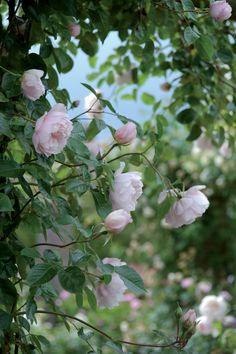English climbing rose - The Generous Gardener. Photo by Howard Rice