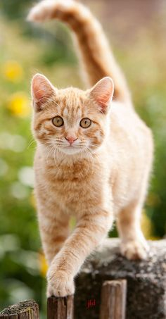 Cute Kittens, Cats And Kittens, Pretty Cats, Beautiful Cats, Animals Beautiful, Orange Tabby Cats, Blue Cats, Animals And Pets, Baby Animals