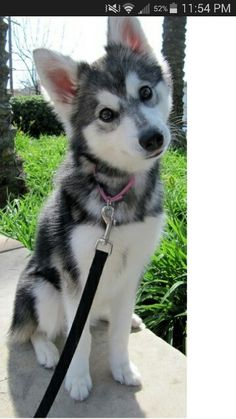 Alaskin klee kai. Yes, they ARE that adorable.