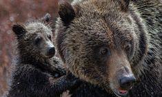 The Bear Family, Mother Bears, Vegan Animals, Wildlife Conservation, Environmental Issues, Animal Cruelty, Animal Welfare, Felicia, Animal Rights