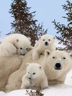 More There may be nothing cuter than a polar bear cub. Except, of course, multiple polar bear cubs. And a full-grown adult polar bear thrown in for good measu. Baby Polar Bears, Cute Polar Bear, Baby Bear Cub, Baby Pandas, Panda Bears, Cute Bears, Nature Animals, Animals And Pets, Wild Animals