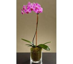 Orchid flowers, including phalaenopsis, dendrobium and other exotic flowers, make for an elegant flower delivery every time. Send orchids as a showstopper. Potted Orchid Centerpiece, Orchid Arrangements, Bamboo Plants, Orchid Plants, Purple Orchids, Purple Flowers, Orchid Delivery, Outside Plants, Phalaenopsis Orchid