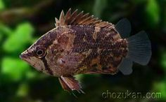 Polycentropsis abbreviata. Boulenger,1901. Common Names: African leaf fish