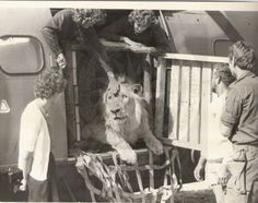 An attempt by Puma Helicopter transport to return Teddy to the wild Special Forces, True Stories, Lion, African, Military, War, Happy, Photos, Leo