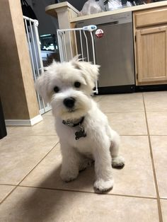 """Get great tips on """"Schnauzer"""". They are accessible to you on our website. … - Dog Breeds for Apartments Miniature Schnauzer Puppies, Schnauzer Puppy, Schnauzers, Miniature Dog Breeds, Schnoodle Dog, Cute Dogs And Puppies, Doggies, Dog Boarding, Dog Pictures"""