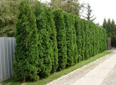 Privacy Hedge - Thuja Occidentalis 'Smaragd' (also Esmerald Green Thuja) Timanttituija - Stands heavy cutting, but grows into nice shape without trimming as well. Arborvitae Landscaping, Privacy Landscaping, Backyard Privacy, Outdoor Landscaping, Front Yard Landscaping, Landscaping Rocks, Luxury Landscaping, Privacy Trees, Privacy Hedge