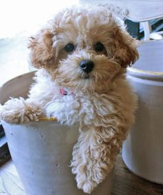 Cece is a Miniature Poodle and an awfully cute puppy.