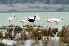 A black flamingo is seen in a salt lake at the Akrotiri Environmental Centre on the southern coast of Cyprus April 8, 2015. The flamingo is thought to have a genetic condition which causes it to generate more of the pigment melanin, turning it dark rather than the usual pink color.