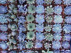 blue! - 100 succulent plants for wedding favors, bridal decoration, bridal shower, party favors