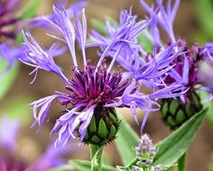 Flockenblume, (Centaurea)