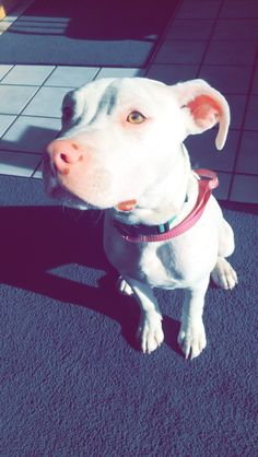 Uplifting So You Want A American Pit Bull Terrier Ideas. Fabulous So You Want A American Pit Bull Terrier Ideas. Cute Puppies, Cute Dogs, Dogs And Puppies, Doggies, Animals And Pets, Baby Animals, Cute Animals, Pit Bulls, Pitbull Terrier