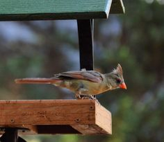 This feeder is called a fly-through. The advantage is a bird can easily grab a seed and then fly to safety. Disadvantage, you have to fill it everyday. Johns Creek, Wild Birds, Bird Feeders, Fill, Safety, Backyard, Store, Outdoor Decor, Animals