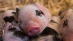 Piglets at Edgars Mission Mini Piglets, Animals, Animales, Animaux, Animal, Animais