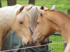 Missouri Fox Trotter Louie (gold champagne), meets his half sister (amber champagne) Nova.  Both are Fox Trotters