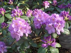 My Rhododendrum