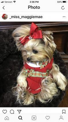 The traits we all enjoy about the Yorkshire Terrier Puppies Cute Dogs And Puppies, I Love Dogs, Cute Funny Animals, Cute Baby Animals, Yorshire Terrier, Bull Terriers, Teacup Puppies, Corgi Puppies, Yorkshire Terrier Puppies