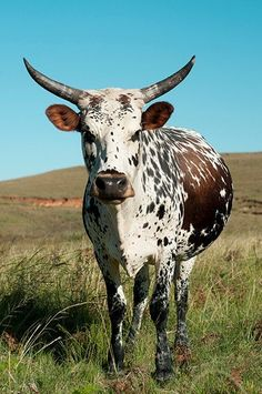 Nguni Cows - Even Flow Resources Vegan Animals, Farm Animals, Animals And Pets, Longhorn Cattle, Bull Cow, Dairy Cattle, Animal Agriculture, Cow Painting, Cow Art